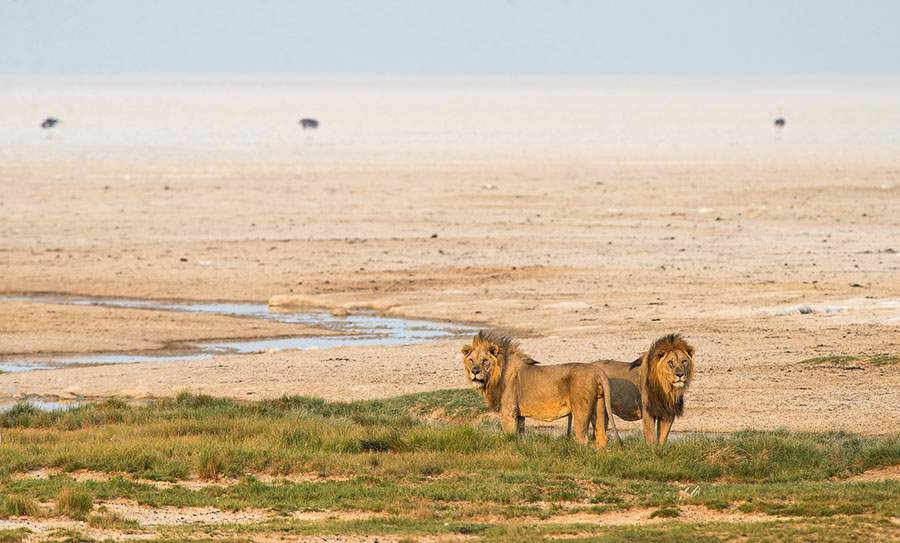 Males Lions