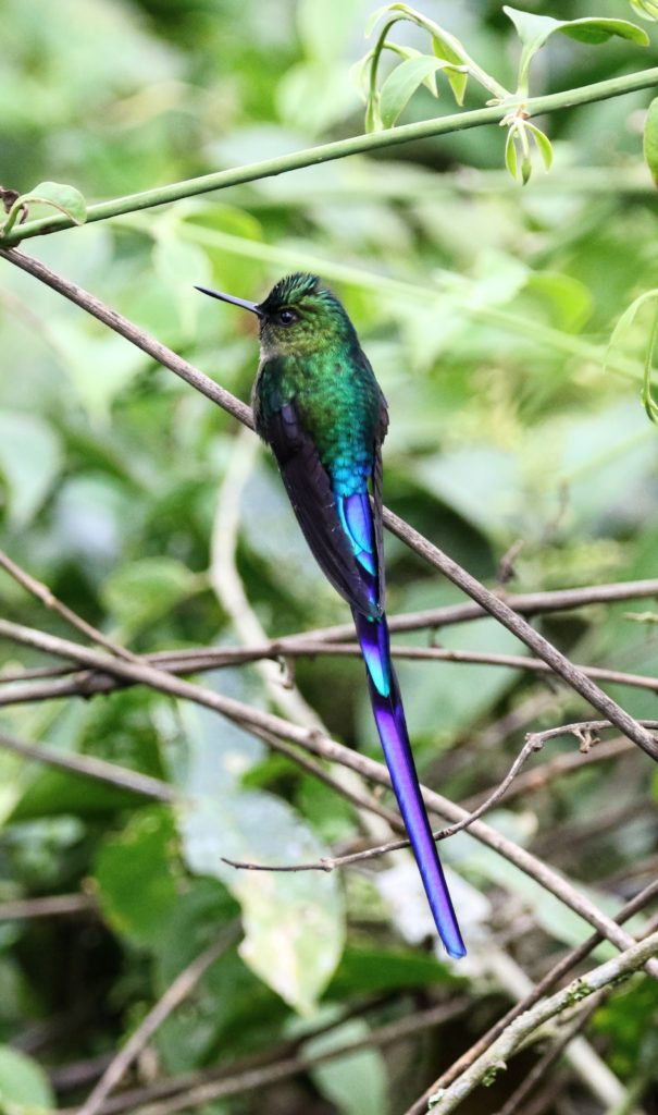 Sylphe à queue violette (Violet-Tailed Sylph)